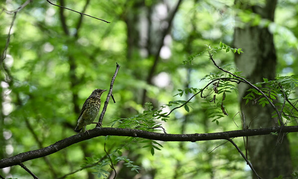 young Song thrush  (Turdus philomelos)  fledgling sitting on tree branch against spring forest background