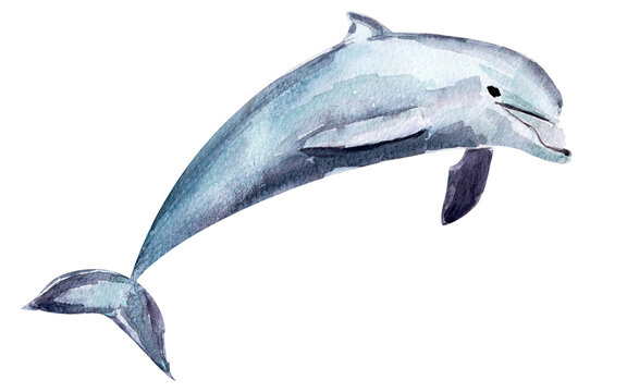 Dolphin watercolor single element illustration. Template for decorating designs and illustrations.