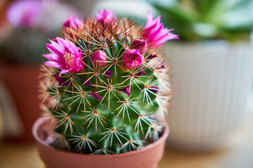 Obraz blooming cactus on the table, blooming cactus, cactus with flowers, succulent, table, indoor plant, - fototapety do salonu