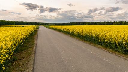 droga przez kwitnące pola rzepaku