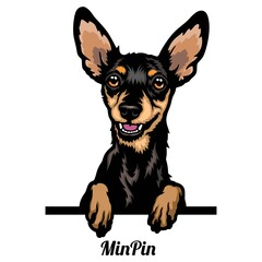 Obraz Miniature Pinscher - dog breed. Color image of a dogs head isolated on a white background - fototapety do salonu