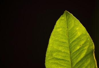 Obraz Świetlisty liść cytrusa - fototapety do salonu