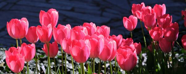 Obraz pole tulipanów 1 - fototapety do salonu