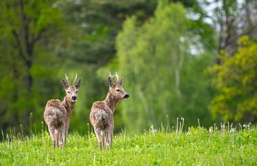 roe deer (Capreolus capreolus) in spring nature