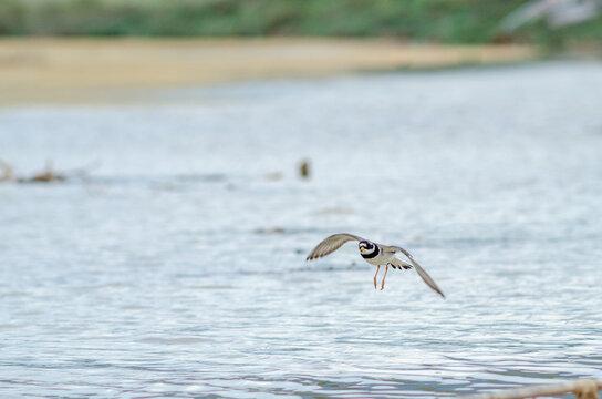 Semipalmated Plover Charadrius semipalmatus land on wetland