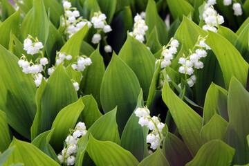 Obraz lilies of the valley - fototapety do salonu