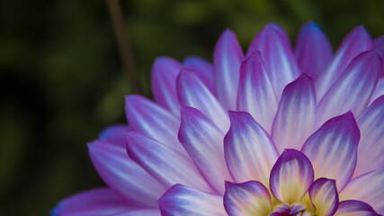 Obraz Fioletowy kwiat - fototapety do salonu