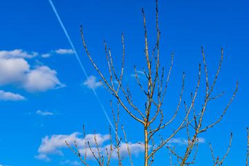 Fototapeta Suche, gałęzie drzewa na tle błękitnego nieba. obraz