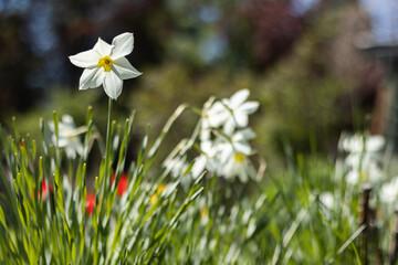 Fototapeta Kwiaty wiosną na działce obraz
