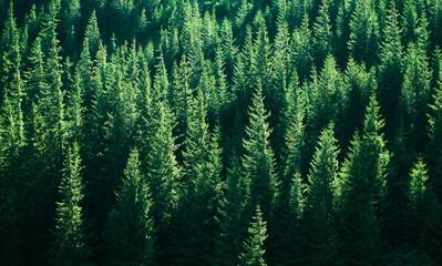 Obraz Mountains with forests. Carpathian Mountains - fototapety do salonu