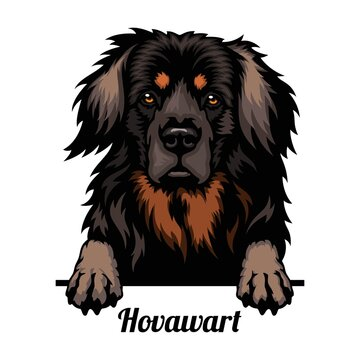 Hovawart - dog breed. Color image of a dogs head isolated on a white background
