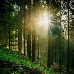 Widok drzew w lesie - drzewa iglaste w porannym słońcu, las iglasty