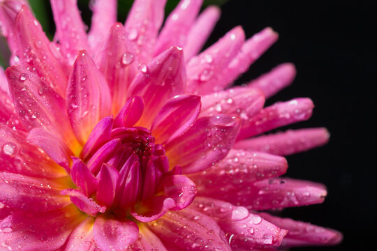 Closeup of pink dahlia with water drops