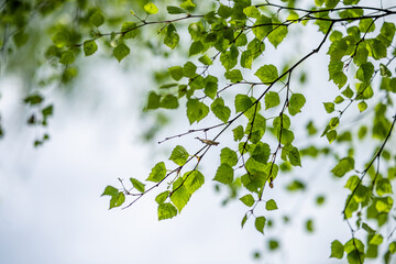 Obraz Birch branches and leaves against the sky. Forest natural background. - fototapety do salonu