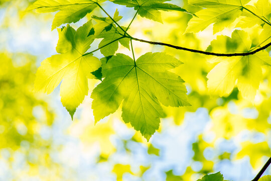 Green leaves of a maple on a branch, blue sky in the background