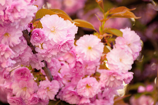 blooming pink flowers of sakura in ukraine. cherry blossom season in springtime. close up floral background