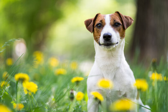 Portrait of a dog of breed Jack Russell Terrier among the green grass and yellow flowers. Dog in greenery close-up, blurred background.