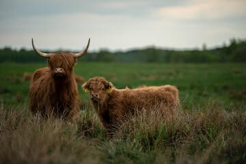 Szkocka krowa górska highland i cielę - fototapety na wymiar