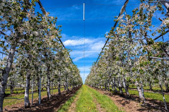 Baumreihe auf einer riesigen Obstplantage mit unzähligen blühenden Apfelbäumen vor blauem Himmel