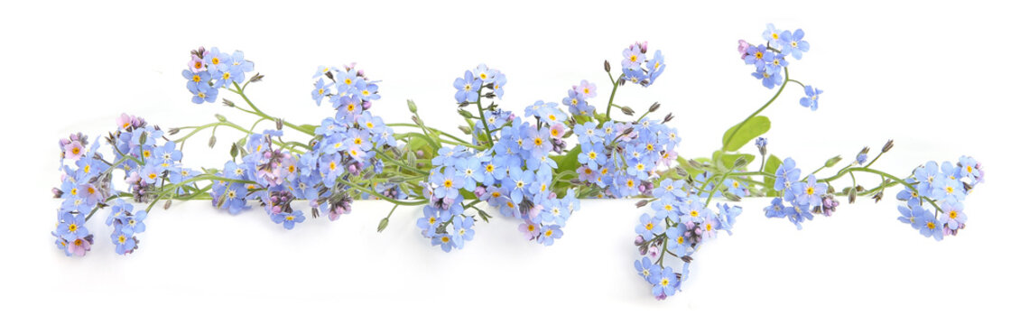 Spring blue flowers Myosotis isolated on white background.  Flowers Myosotis are called forget-me-not or scorpion grasses.