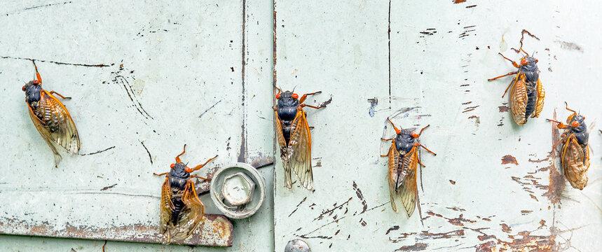Row of Emerging Cicadas on Blue Metal Background