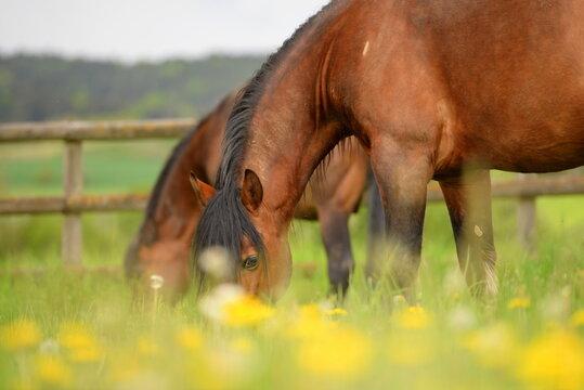 Connemara Ponies auf der Wiese