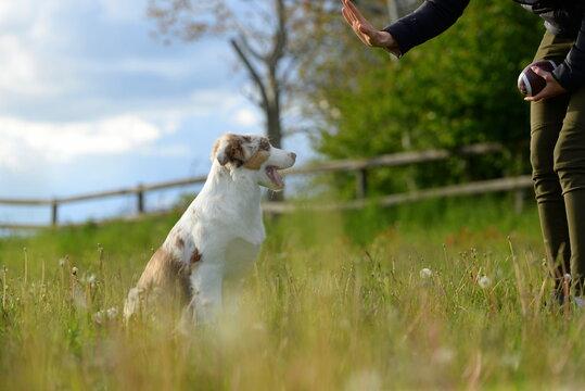 Hundefrühling. Junger Australien Shepherd auf der Löwenzahnwiese