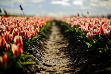 field of poppies - fototapety na wymiar