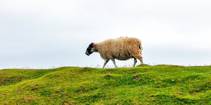 single sheep on the isle of skye in scotland