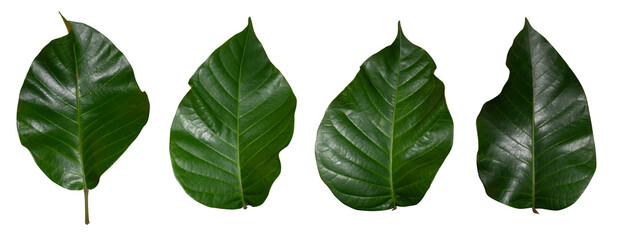 Isolated green leaves of santol tree In a white background  - fototapety na wymiar