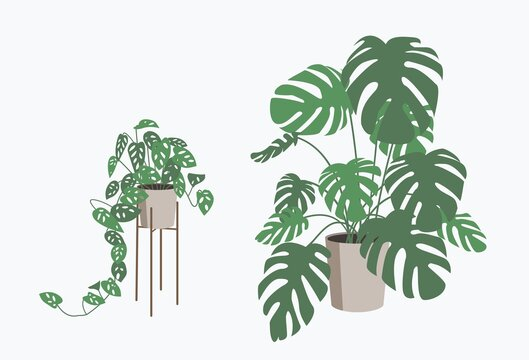 Monstera plant in flower pot isolated.