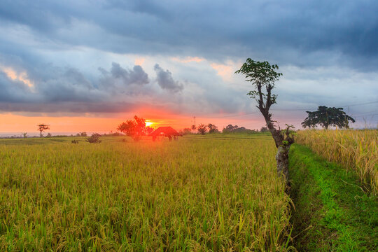A vast expanse of yellowish green rice fields in the afternoon with beautiful mountains in Indonesia