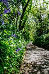 Fototapeta Pionowe ujęcie wiejskiej drogi i skarpy porośniętej bluebells w Kornwalii, Wielka Brytania obraz