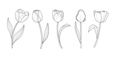 Fototapeta Hand draw set of tulips branches. Flower outline style. Vector illustration. obraz