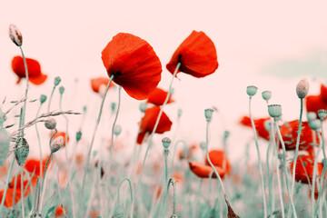 Obraz Red poppies on green field background. - fototapety do salonu