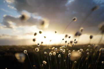 Romantic cotton grass in the moor, germany