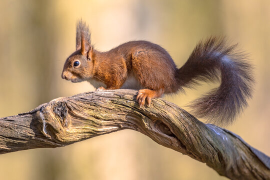 Eurasian red squirrel on branch in forest