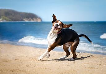 Fototapeta Śmieszna mina psa. Pies bawi się na plaży obraz