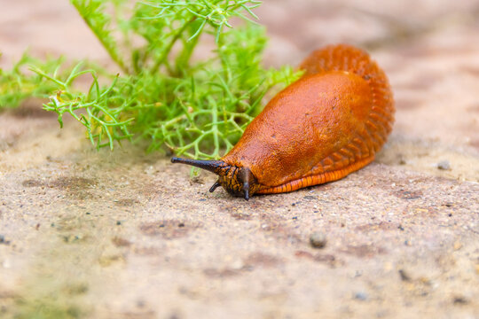 a large red slug crawling along the cobblestones with traces of raindrops in search of food, selective focus