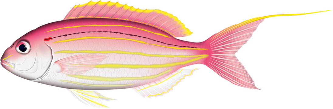 イトヨリダイ (Golden threadfin bream) 魚イラスト ベクター
