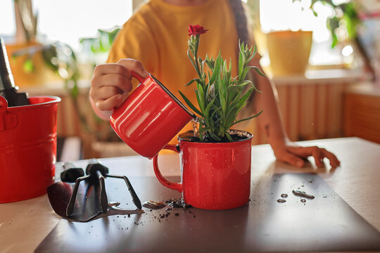 Preteen girl helping to care for home plants and replanting green blooming flowers into red mug, plant parents concept, home floral decor, potted green plants at home