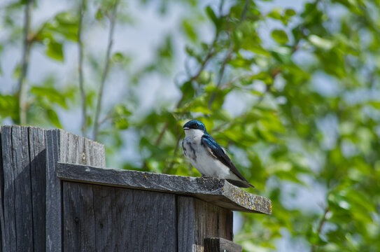 A Tree Swallow on a Birdhouse