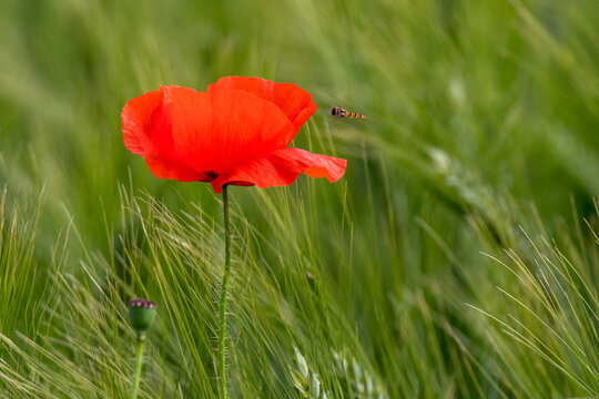 Poppy flowers in close-up and in a wheat field
