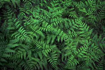 Fern with green leaves background