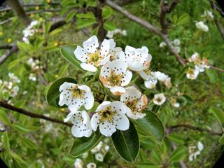 Obraz Kwiaty gruszy. - fototapety do salonu