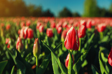 Blossoming tulips with dew drops in field on spring day. Space for text
