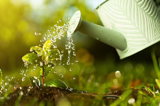 Closeup watering can pouring water on green plant. Agriculture and gardening, planting, seeding growing concept. Beautiful drops of liquid on leaf. Natural background. Freshness growth tree.