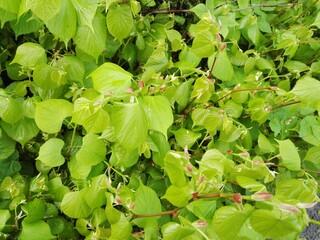 Fototapeta green Talia leaves obraz