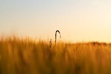 trigo trigal wheat