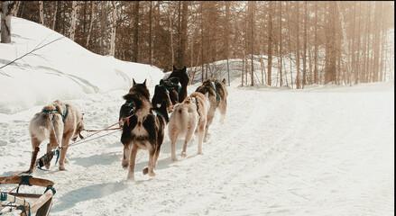 Fototapeta The musher hiding behind sleigh at sled dog race on snow in winter obraz